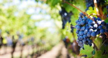 De Villiers à Thoré: de l'art et du raisin