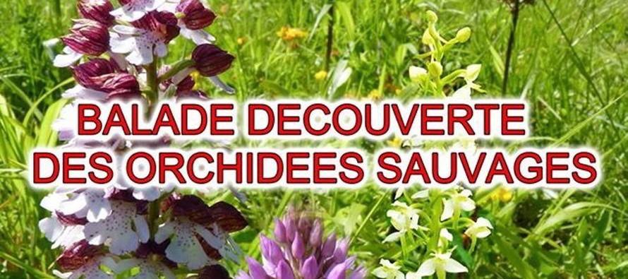 Balade découverte des orchidées sauvages