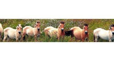 Le cheval Fjord en fête les 1er et 2 août à Savigny-sur-Braye