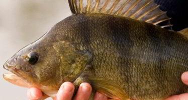 La perche, le beau poisson de saison