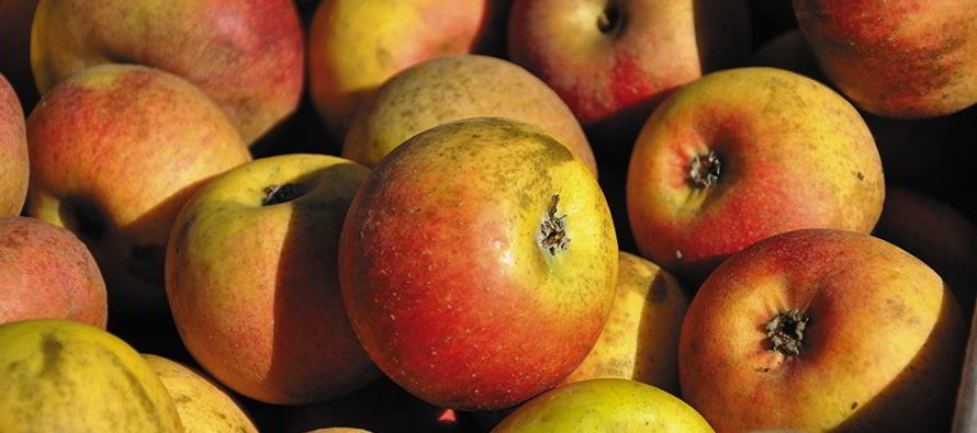 Collectionneur de pommes
