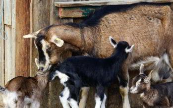 Le Perche, terre d'élevage